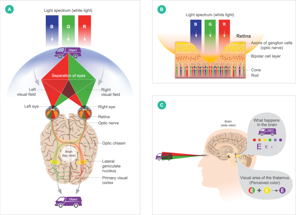 Illustration of human color vision from eyes to brain