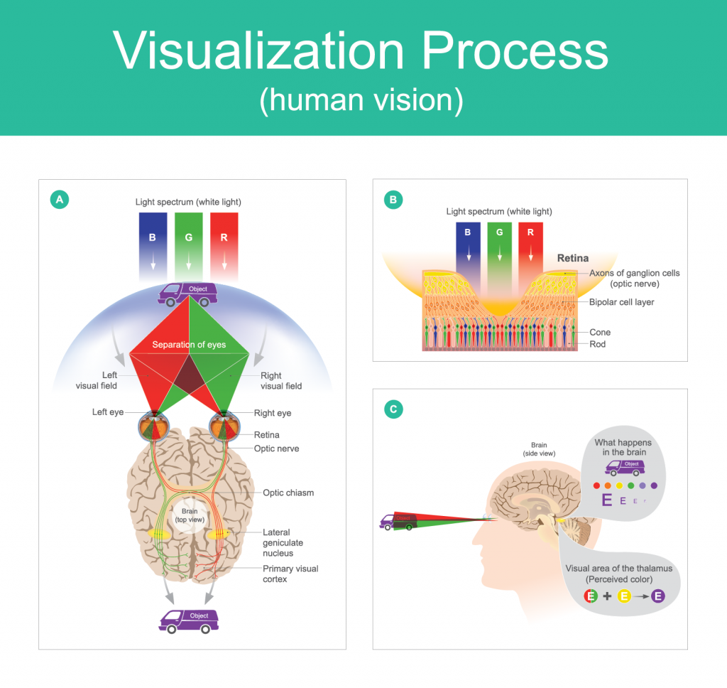 Illustration of the visualization process of human color vision from seeing with the eyes to processing in the brain