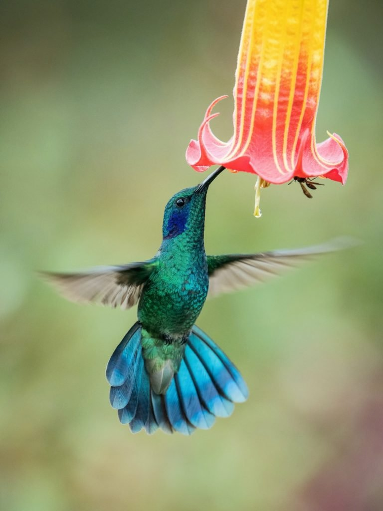 Hummingbird hovering and drinking nectar from a beautiful red and yellow colored flower