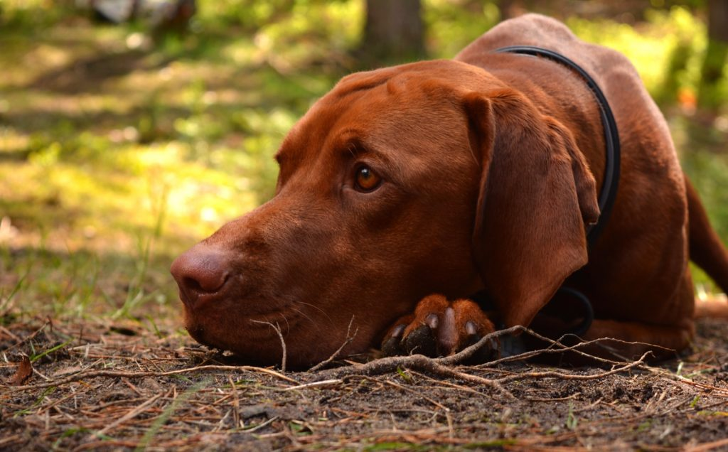 Hungarian vizsla with red colored coat in the forest