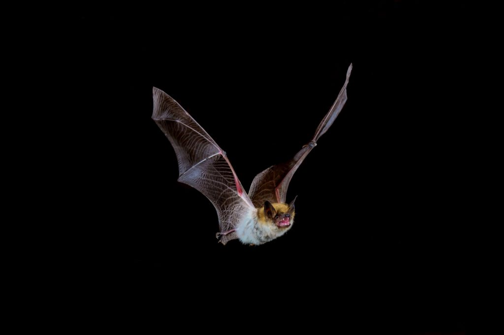 Indiana bat isolated on a dark background