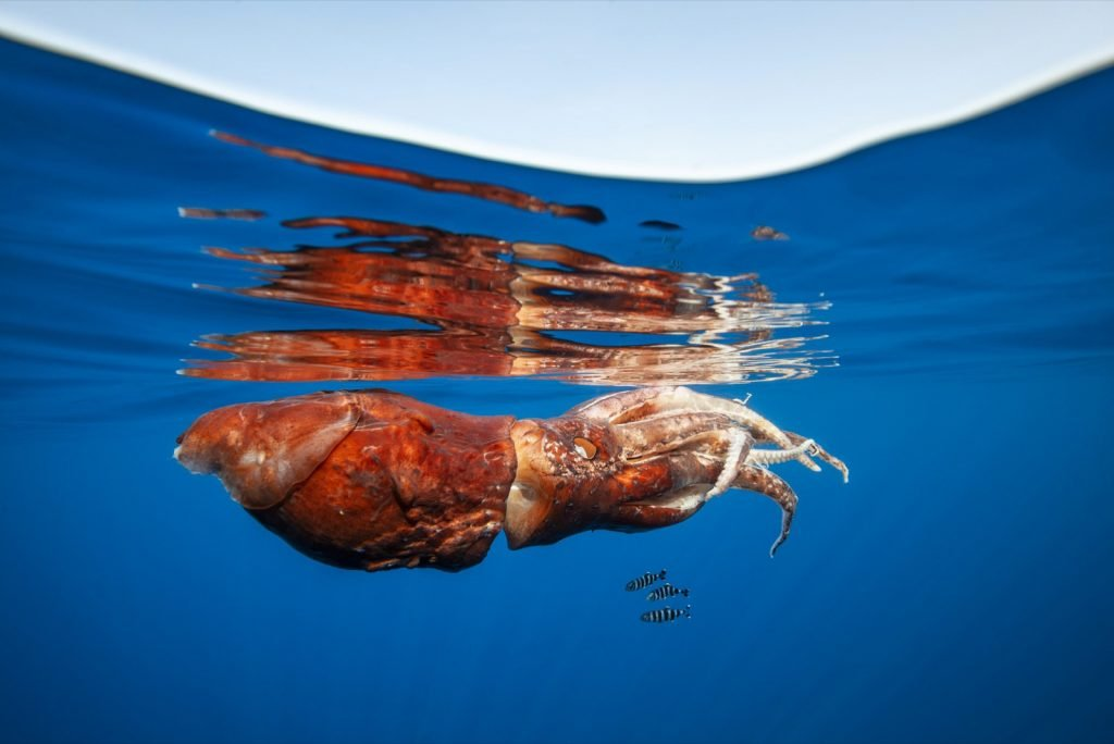 Injured giant Humboldt squid floating near the surface of the ocean water