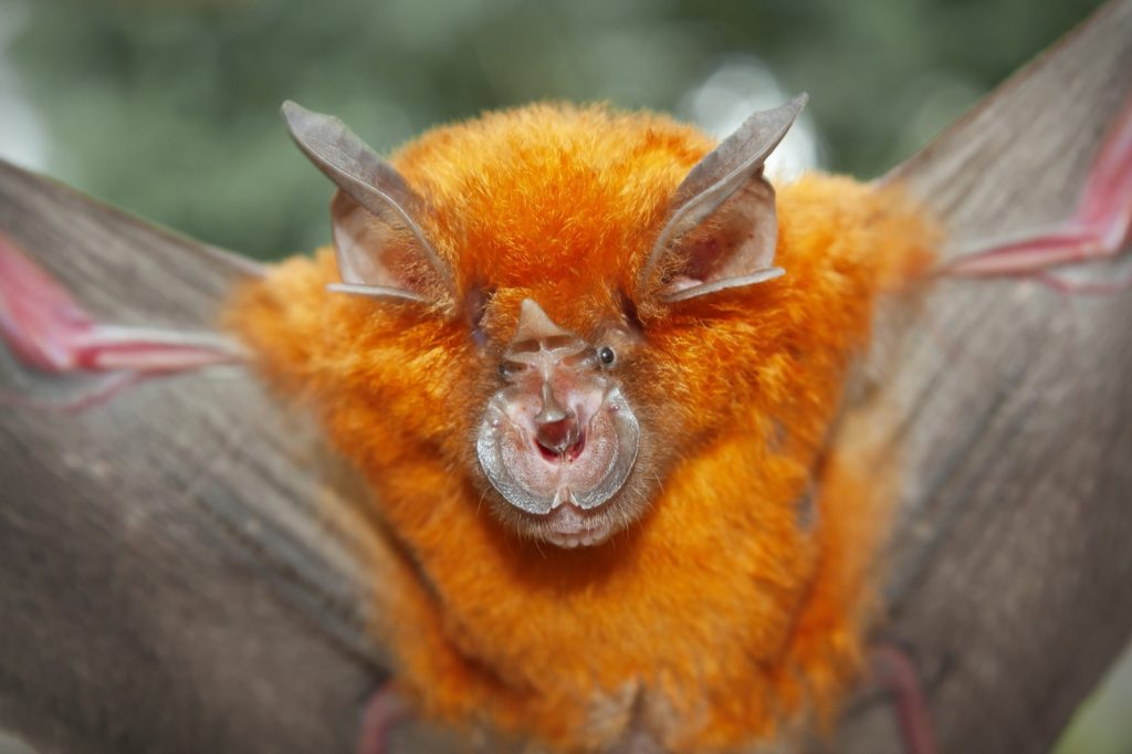 Intermediate horseshoe bat aka Rhinolophus Affinis