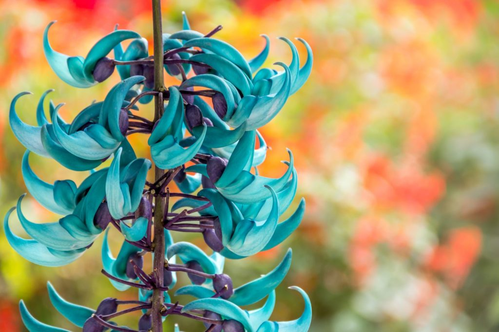 Jade vine aka Strongylodon Macrobotrys hanging from a branch