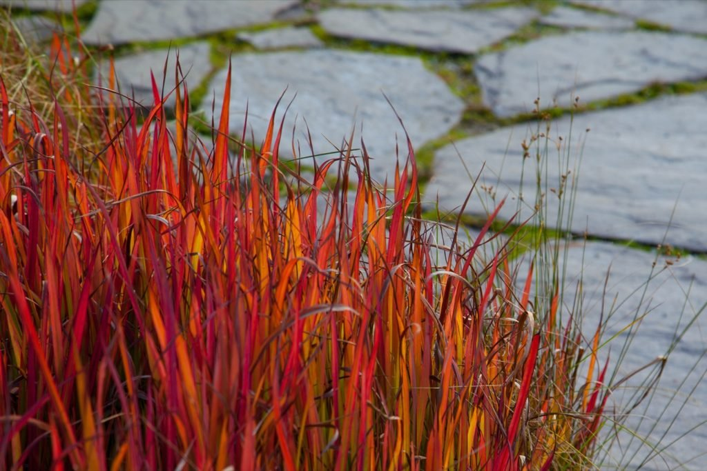 Red Japanese Blood Grass beside stone walkway