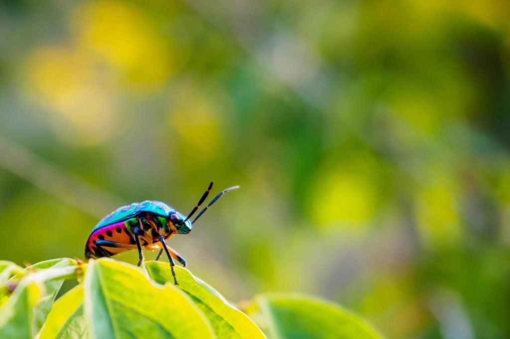 Colorful jewel bug aka Scutiphora Pedicellata in nature