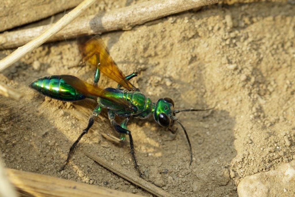 Jewel wasp or emerald cockroach wasp aka Ampulex Compressa on the ground
