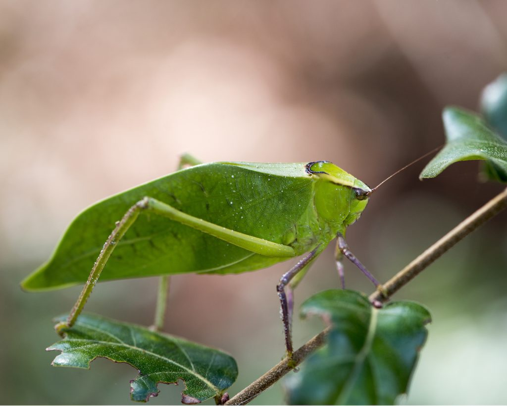 Closeup of Katydid Insect on a tree branch