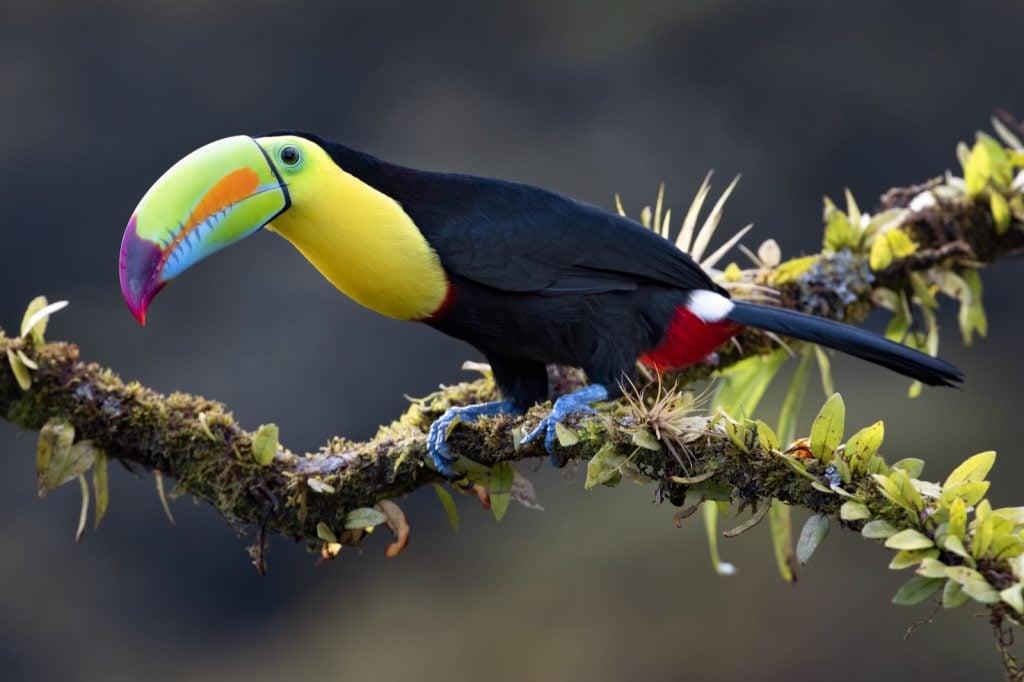 Keel-billed toucan aka Ramphastos Sulfuratus on a mossy branch