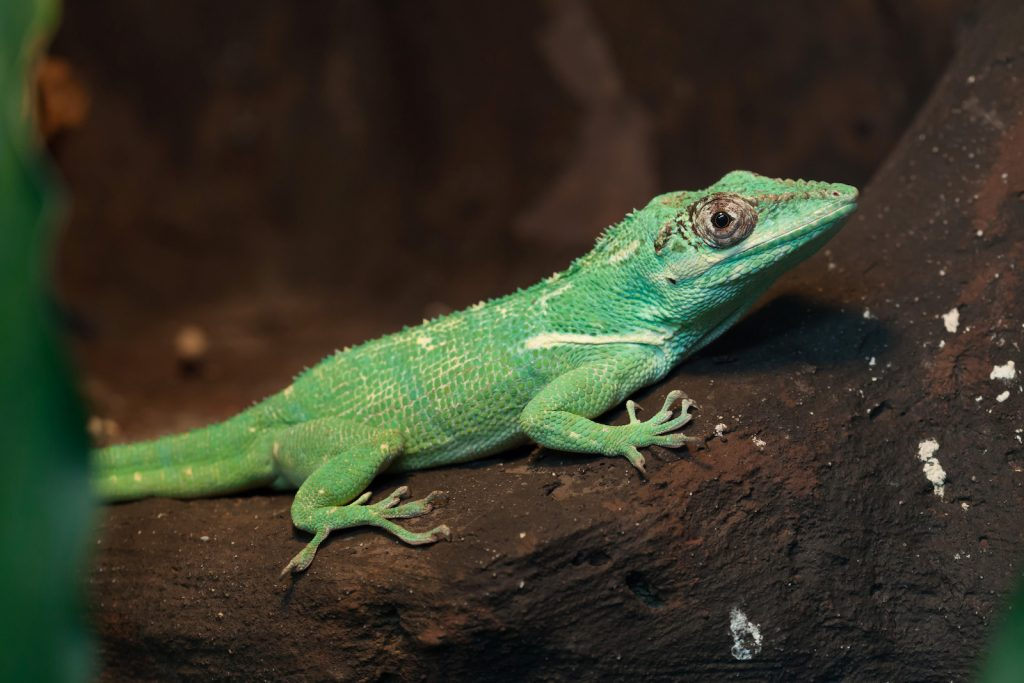 Knight anole also known as the Cuban knight anole sitting on a dark brown tree branch
