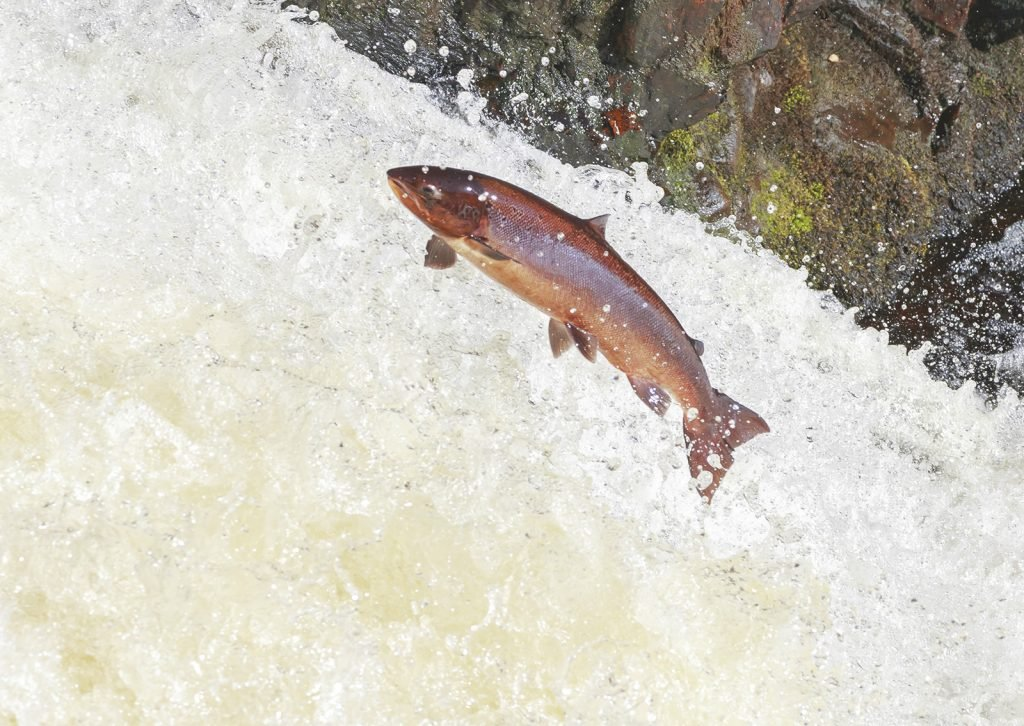 Large pink salmon leaping up a waterfall