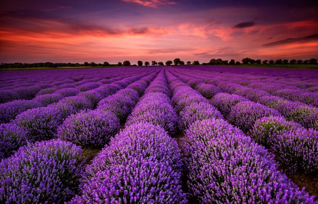 Lavender field in bloom standing in the sunset