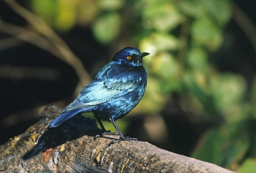 Lesser Blue-Eared Starling aka Lamprotornis Chloropterus from Africa
