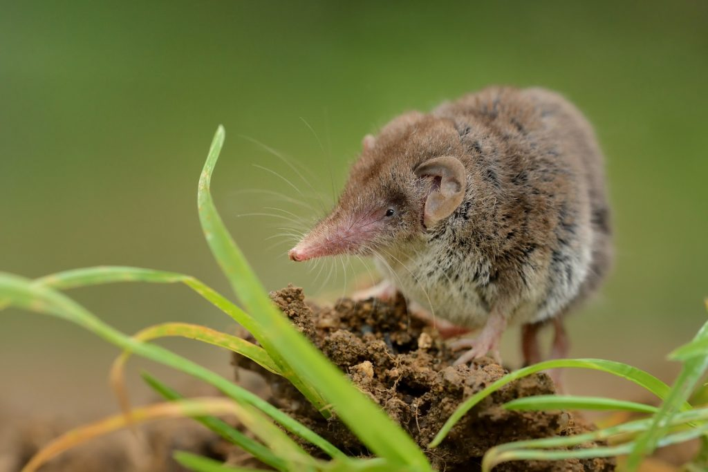 Close up of small lesser white-toothed shrew standing on  a small pile of dirt surrounded by green grass