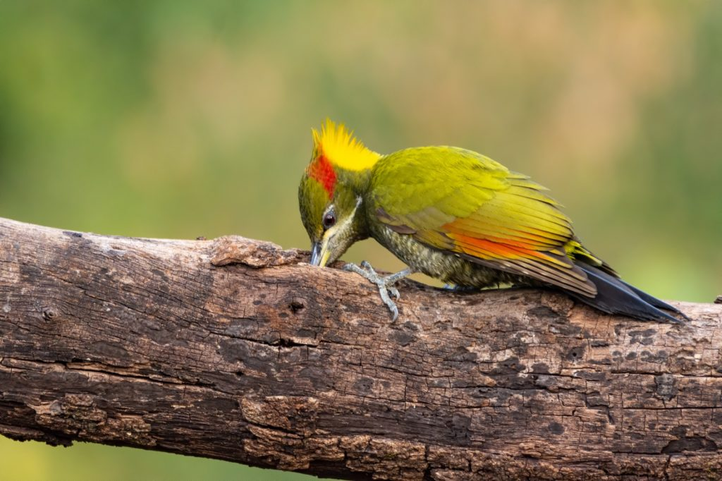 Lesser yellownape woodpecker on a log