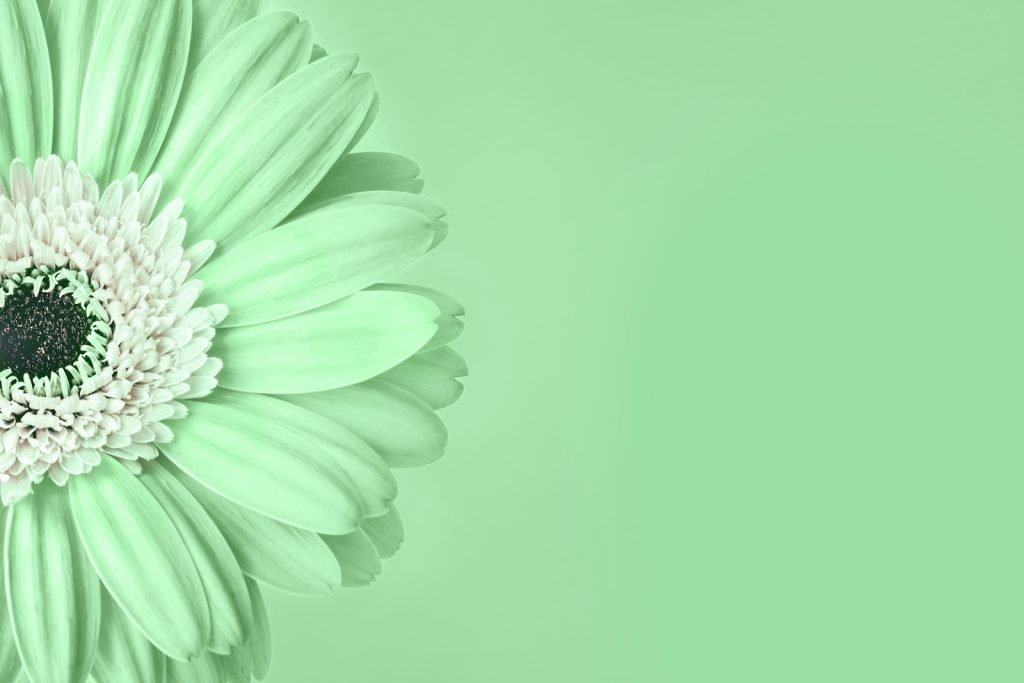 Closeup green mint colored gerbera daisy flower with white center on a green background