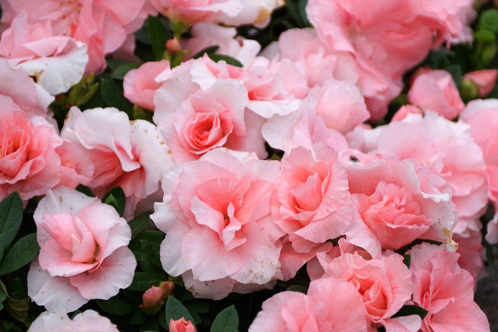 Light pink flowers of Hybrid Azalea