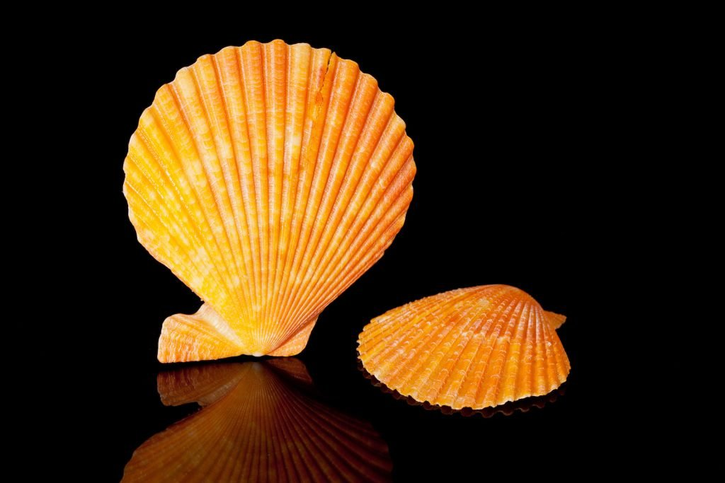 Orange lion's paw scallop shells isolated on a black background
