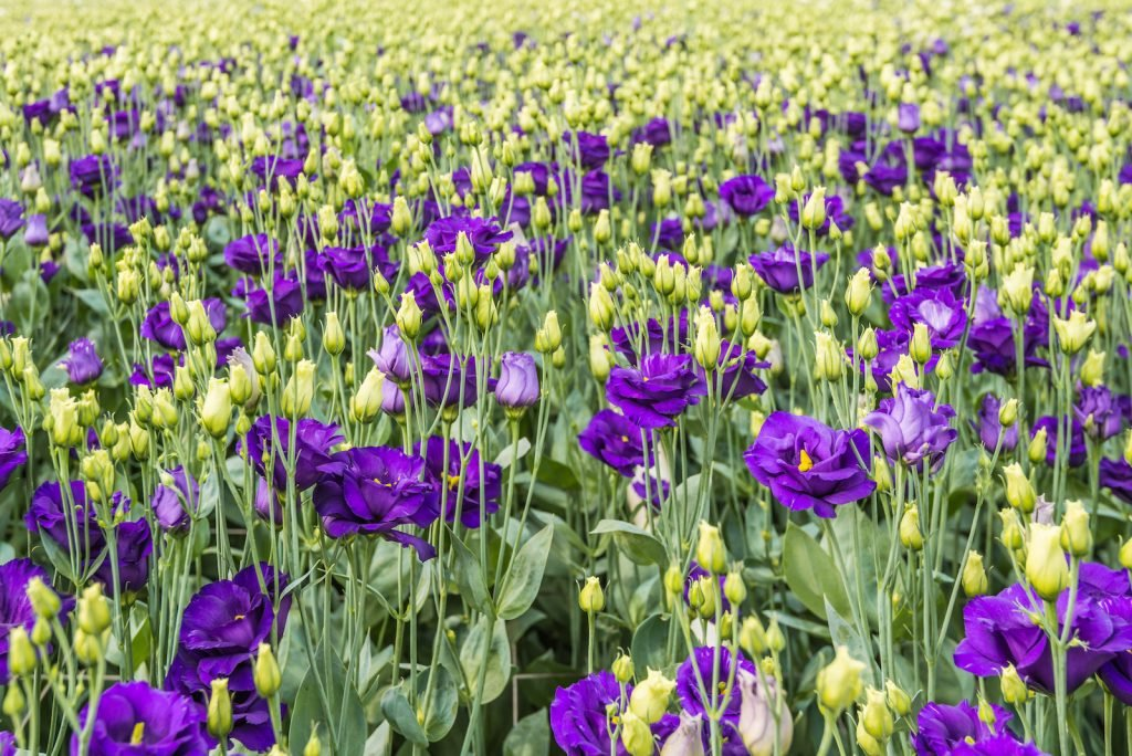 Field of purple lisianthus flowers some in bloom some flower heads are closed
