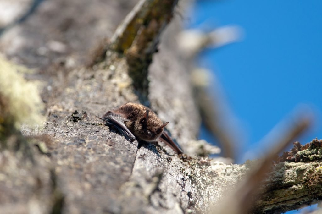 Little brown myotis lucifugus in a tree