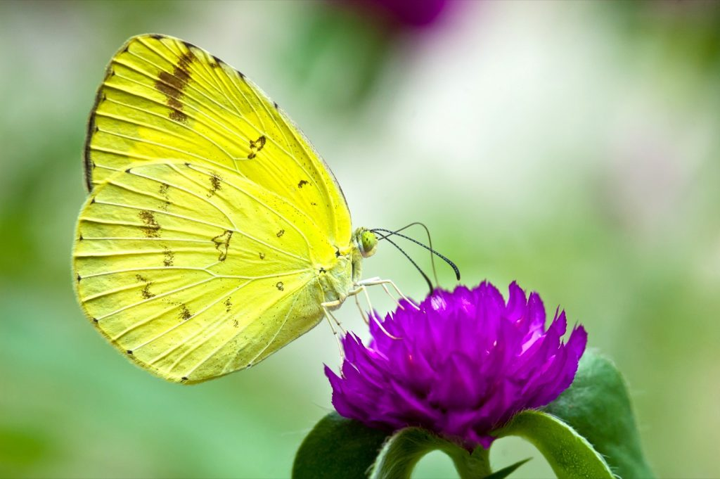 Little yellow butterfly or Eurema Lisa feeding on a colorful flower