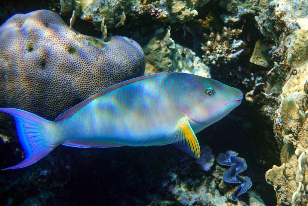 Longnose parrotfish aka Hipposcarus Harid near coral reef