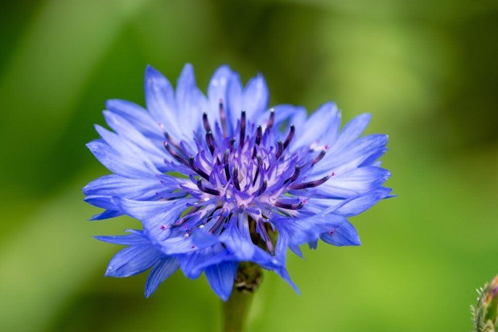Macro shot of blue Centaurea Cyanus knapweed flower