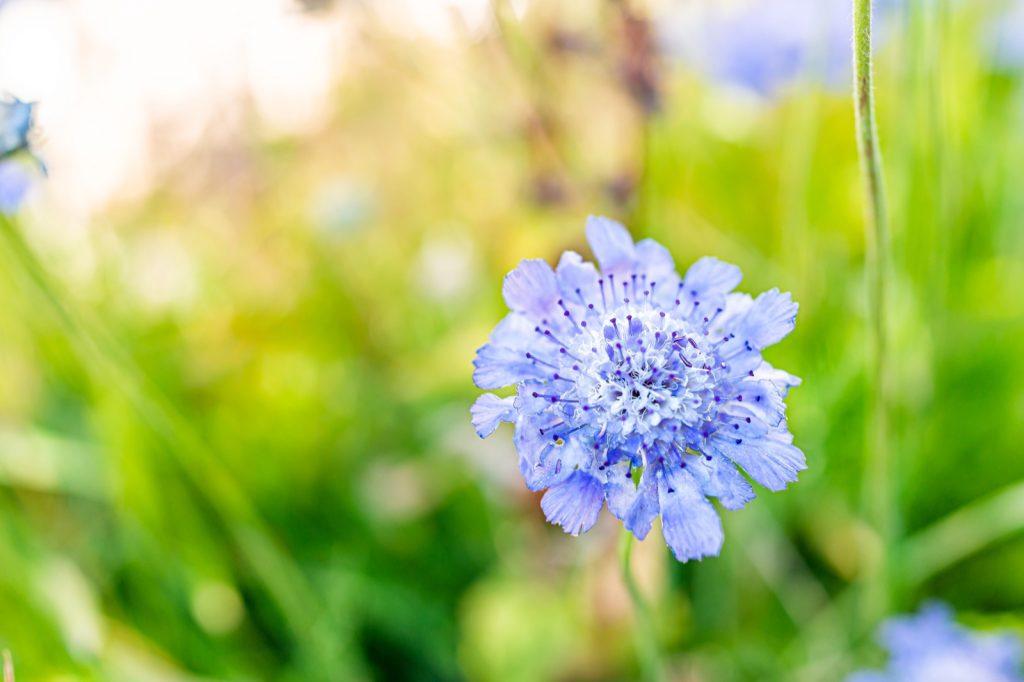 Macro closeup of butterfly blue scabiosa in a flower garden