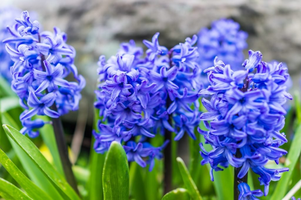 Macro closeup of several blue hyacinth flowers