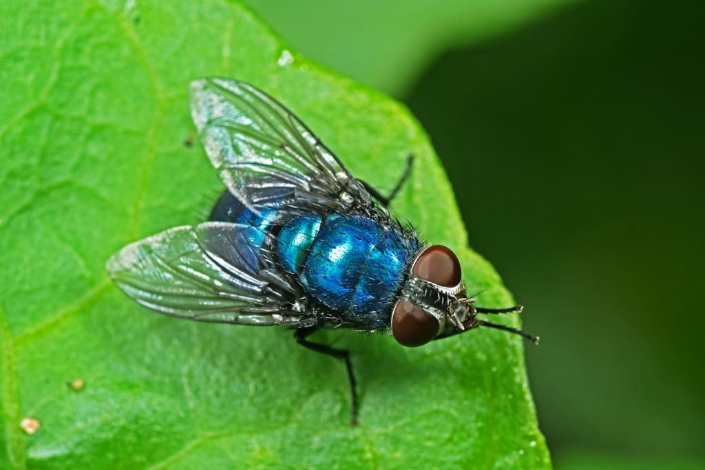 Macro photo of blue bottle house fly on a green leaf