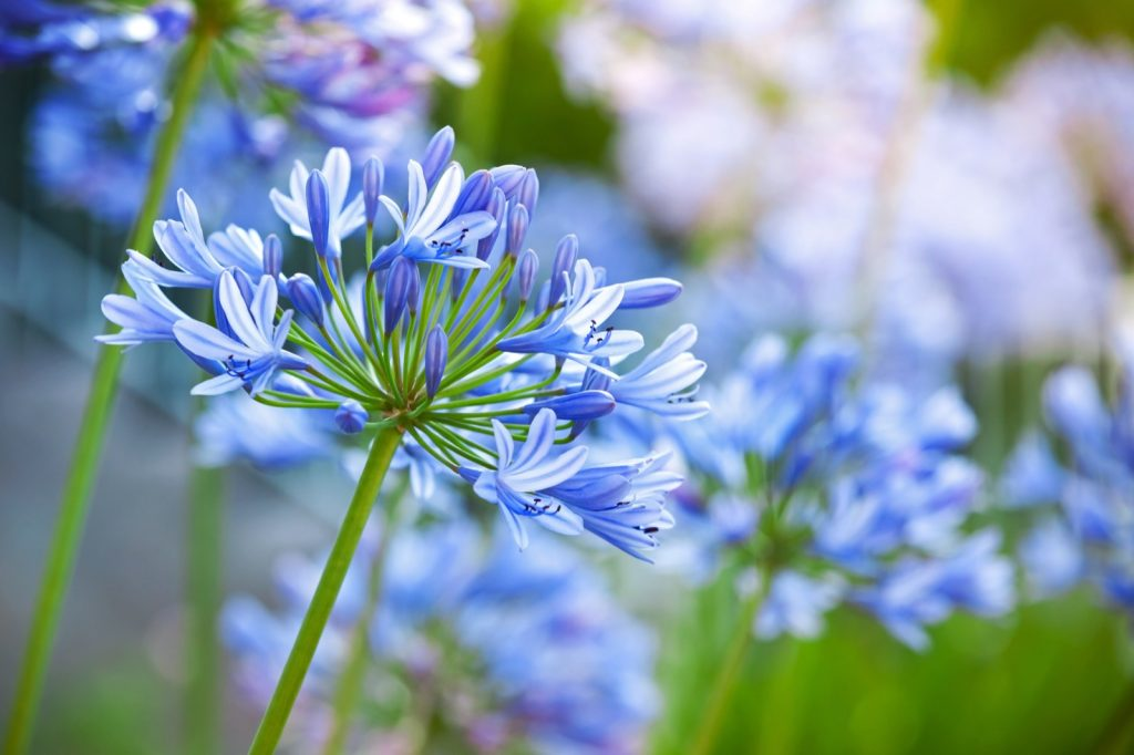 Macro photo of bright blue Agapanthus flowers in garden