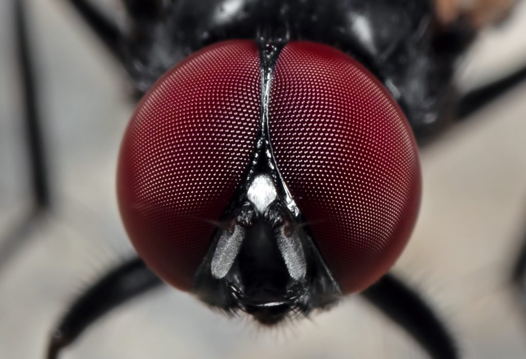 Macro photo of eyes of noon fly