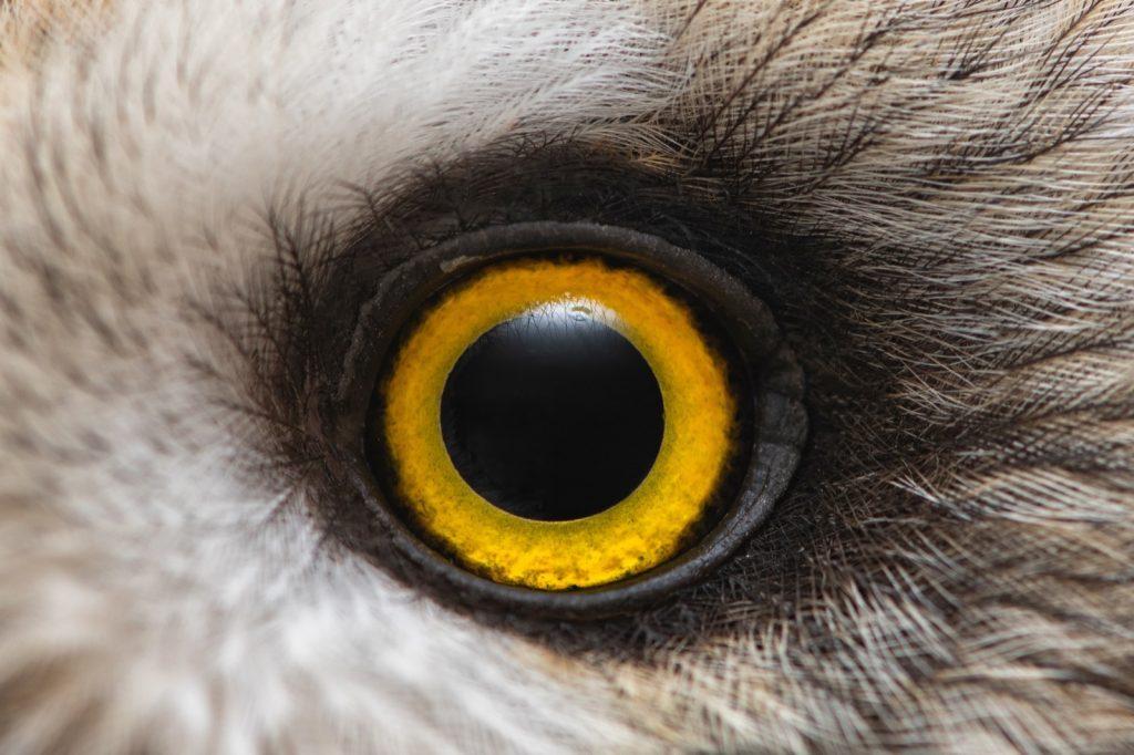 Macro photo of owls yellow eye close up