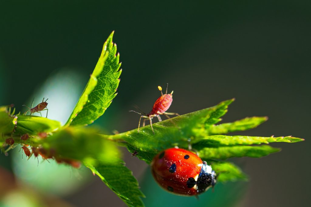 Macro photograph of ladybug and red aphids on green leaves