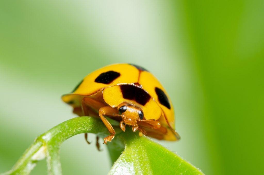 Macro shot of yellow ladybug in nature