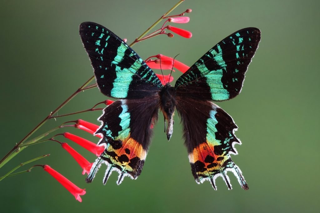 Madagascan sunset moth aka Chrysiridia Rhipheus on a flower