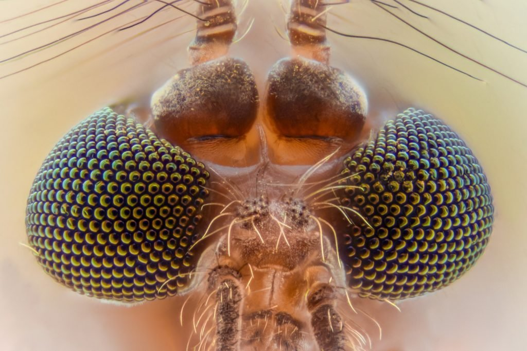 Macro magnification of a mosquito head and eyes