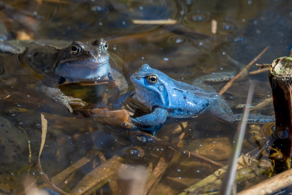 Male Moor Frogs turn blue during mating season