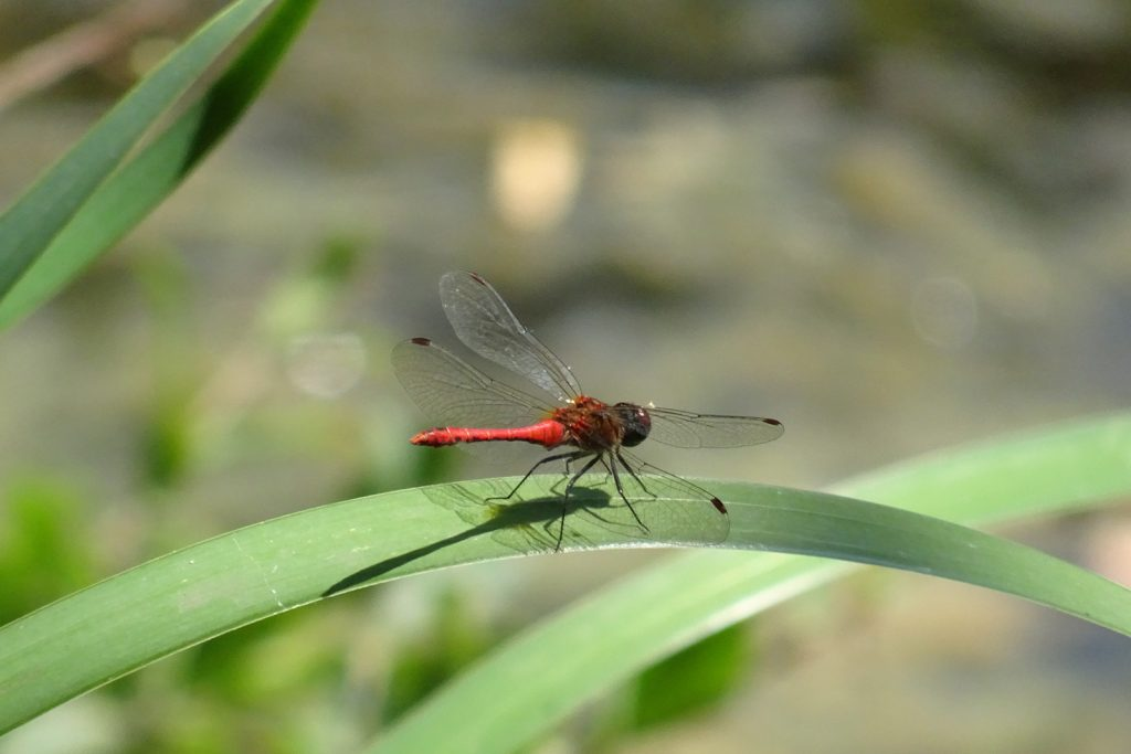 Male red-veined darter aka Sympetrum Fonscolombii
