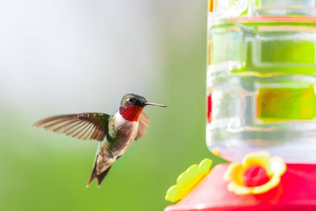 Colorful male ruby throated hummingbird near red feeder