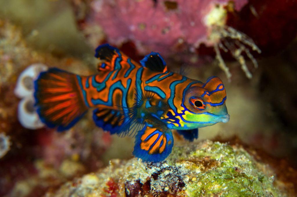Mandarin fish aka Synchiropus Splendidus underwater