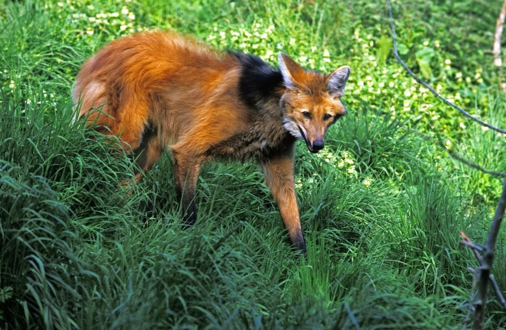 Adult maned wolf standing in tall grass
