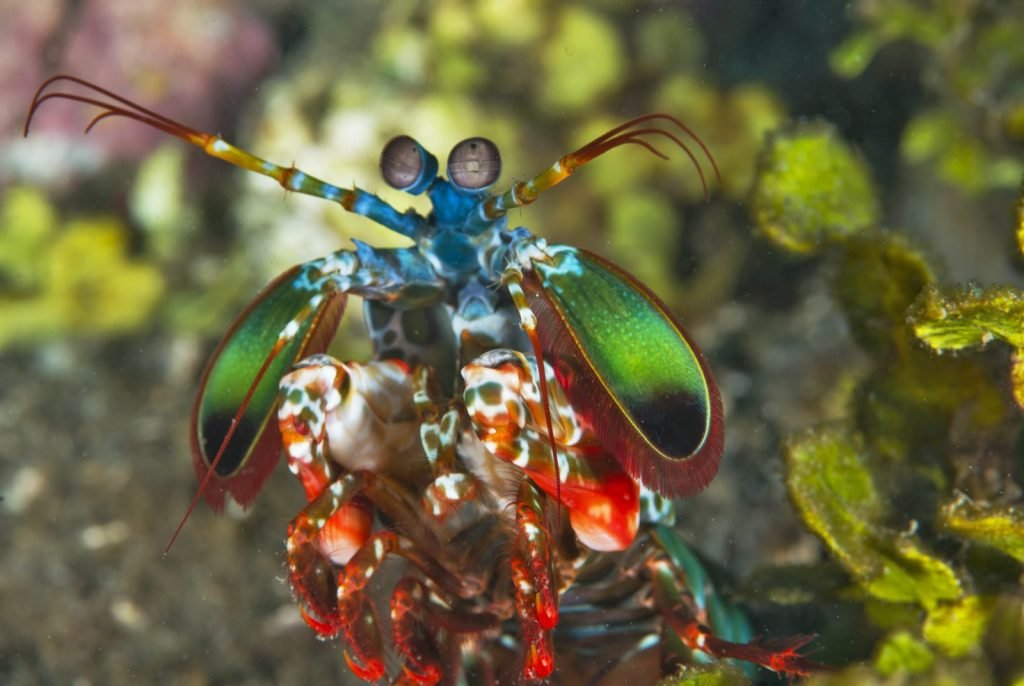 Frontal view of mantis shrimp in many different colors