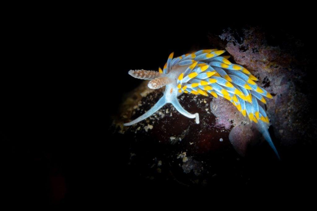 Mediterranean nudibranch aka Berghia Coerulescens in the sea