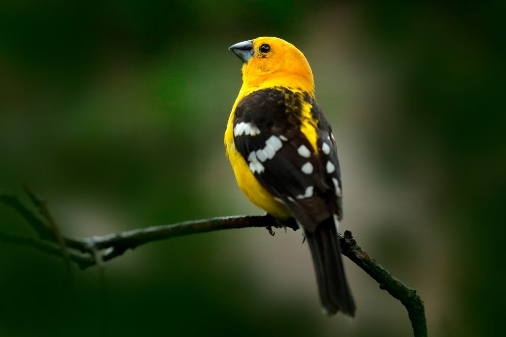 Mexican yellow grosbeak, single yellow bird with black wings with white spots sitting on a branch in the forest in Mexico