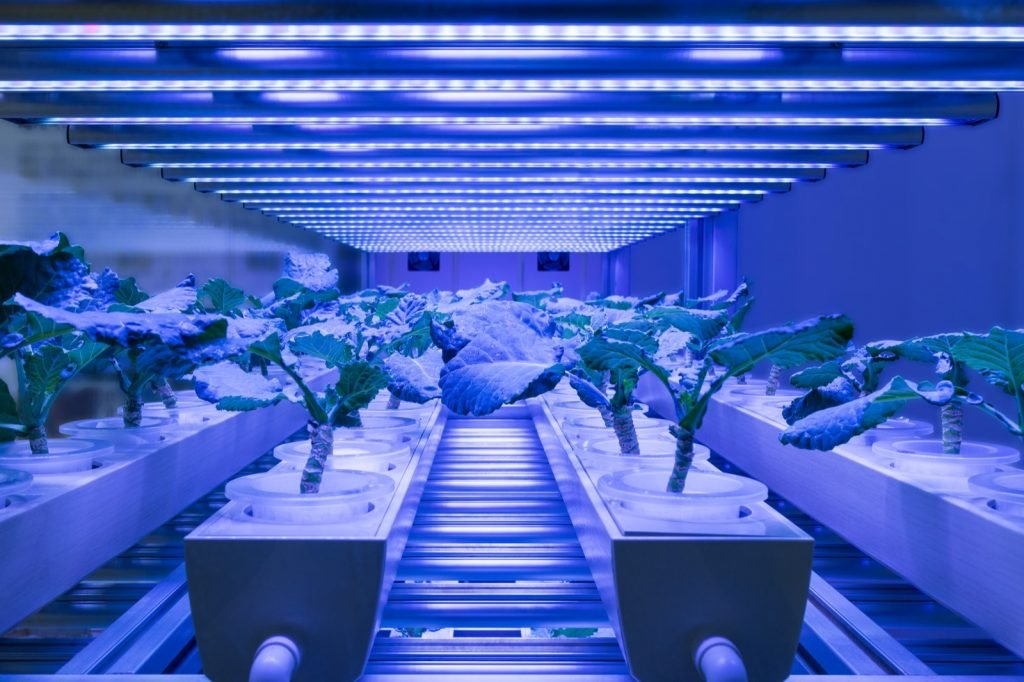 Modern agriculture growing plants using blue lights