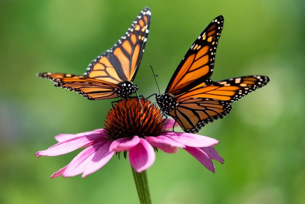 Closeup of two monarch butterflies sitting om a pink flower