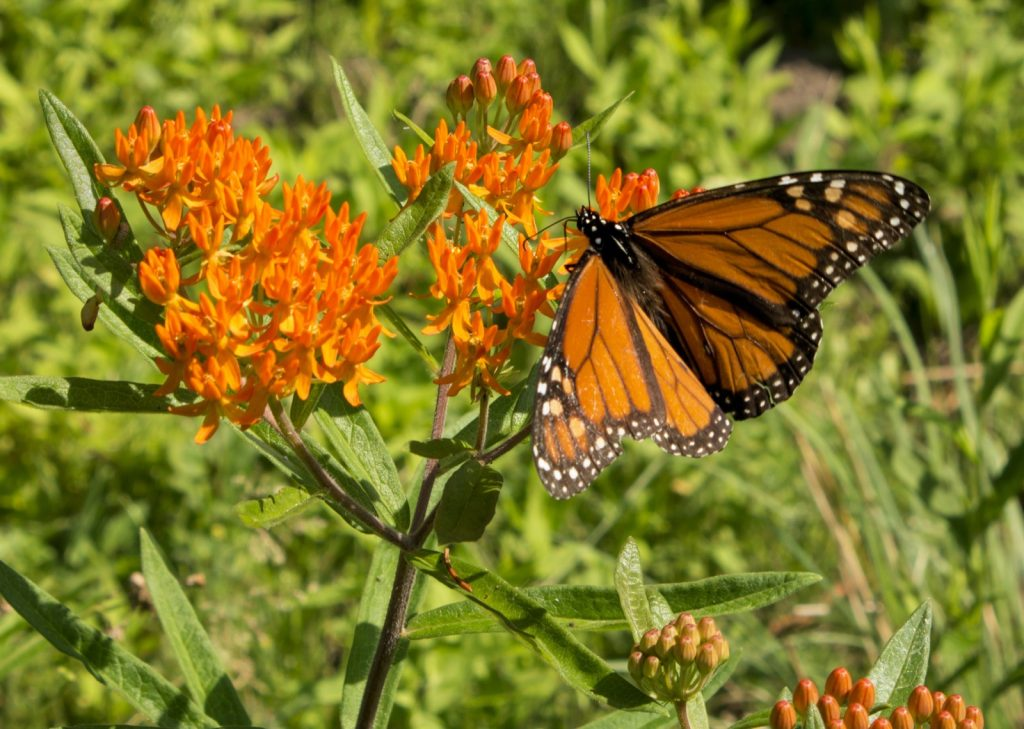 Monarch with open wings feeding on orange asclepias butterfly weed