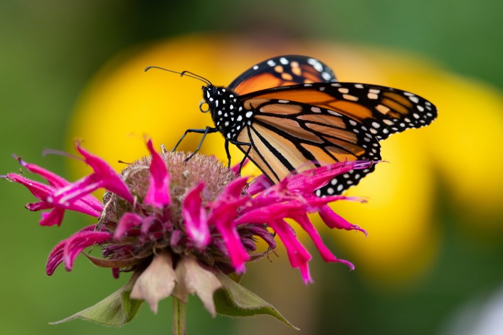 Monarch butterfly on pink monarda flower