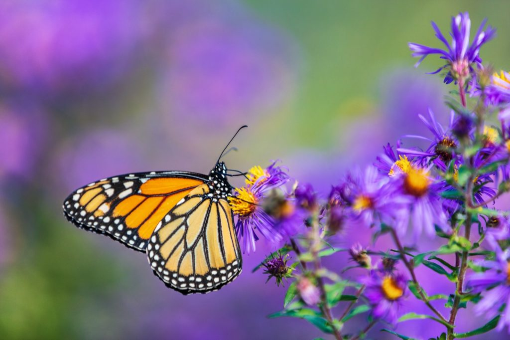 Monarch butterfly feeding on purple aster flower in summer